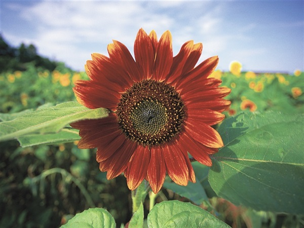 Long Island Sunflower Notecards